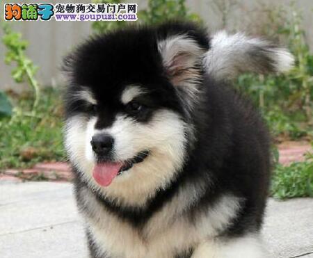 阿拉斯加雪橇犬家养出售质量保证