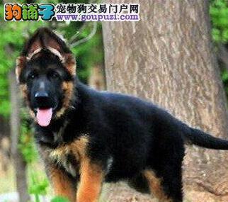 专业繁殖纯种牧羊犬,德国牧羊犬(可货到付款)