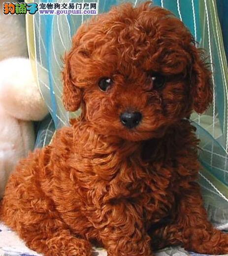 专业繁殖精品泰迪犬出售东莞地区购犬可优惠