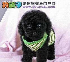 出售多种颜色郑州纯种贵宾犬幼犬郑州市内免费送货