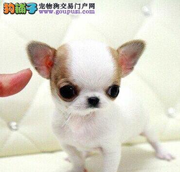 郑州知名犬舍出售多只赛级吉娃娃郑州地区可包邮