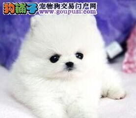 可爱迷你小体型的厦门博美犬低价出售 哈多利球形血系