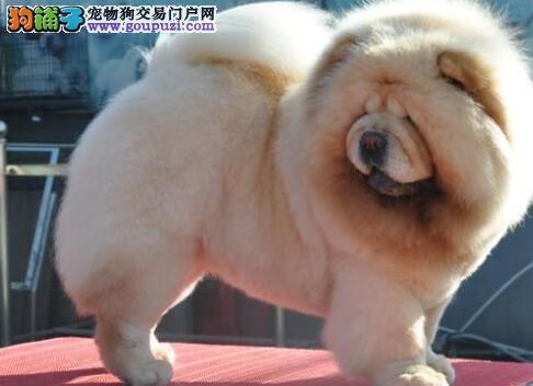 出售纯种健康的西城松狮幼犬保证品质完美售后