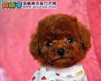 专业繁殖茶杯体淄博泰迪犬出售可见狗狗父母