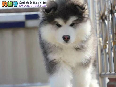高端阿拉斯加犬幼犬,CKU认证绝对保障,绝对信誉保证