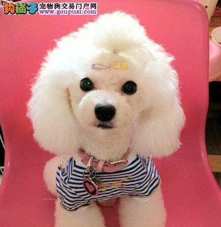 纯种小体沈阳贵宾犬出售 血统纯正身体健康