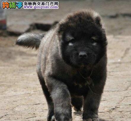转让俄系大骨量巨型熊版品相的长沙高加索犬 欲购从速
