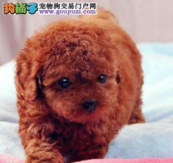 出售纯种健康的贵宾犬 泰迪熊 欢迎购买
