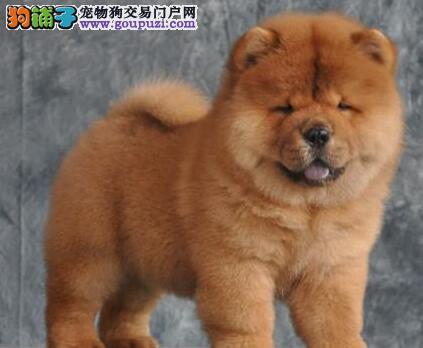 著名犬业出售佛山松狮犬 肉嘴紫舌头 完美品质