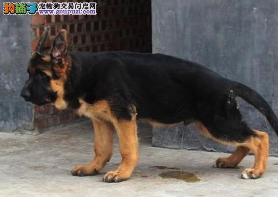 天津知名犬舍出售多只赛级德国牧羊犬签正规合同请放心购买