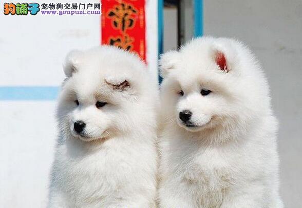苏州犬业热销顶级品质萨摩耶完美品相保证售后