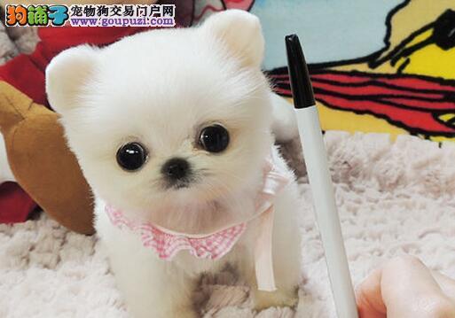 正规狗场热销出售顶级优秀北京博美犬 血统纯赛级品质