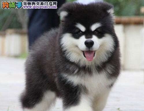 顶级巨型熊猫版阿拉阿斯幼犬 新春特价 质保出售