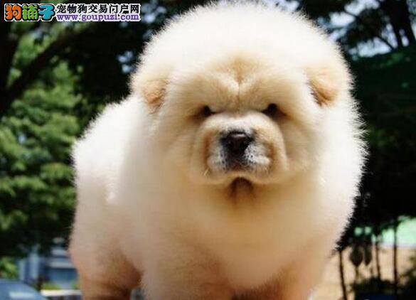.出售憨厚可爱的松狮宝宝出售胖胖可爱大头肉嘴的松狮