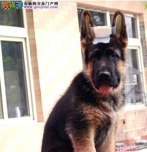 繁育基地出售赛级品质中山德国牧羊犬包养活