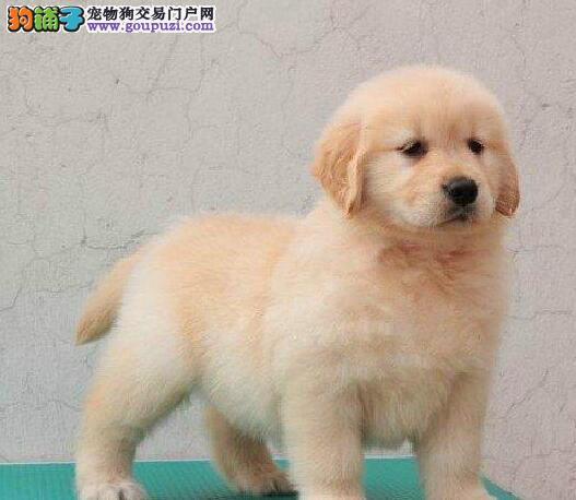 河北大型养殖场超低价售金灿灿的金毛犬 狗贩子请勿扰