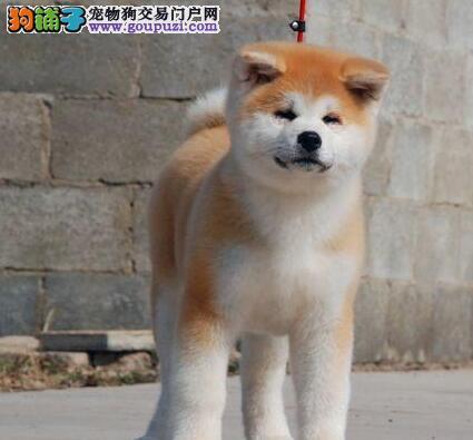 专业繁殖纯种秋田犬转让中山地区可赠送芯片