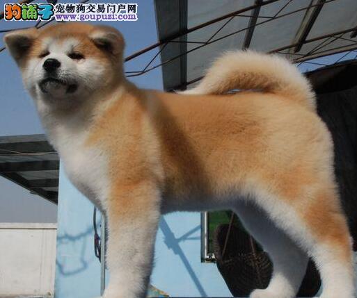 纯种秋田犬幼犬、CKU认证犬舍、可签保障协议