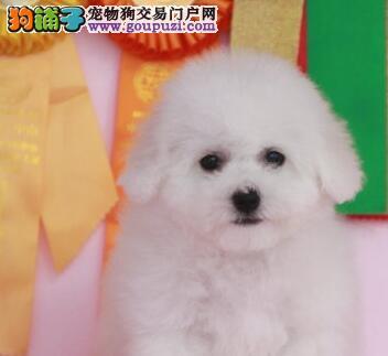 重庆自家繁殖比熊出售公母都有喜欢加微信可签署协议