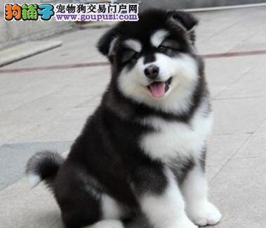 自家繁殖高品质阿拉斯加雪橇犬。现狗场待售幼犬18只