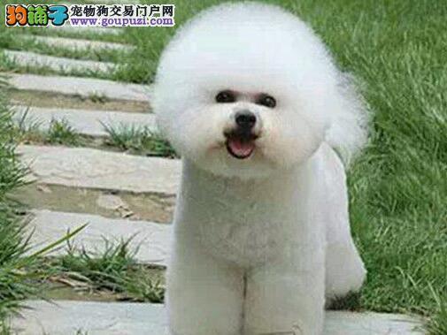 雪白卷毛品相的南昌比熊犬找爸爸妈妈 狗贩子勿扰