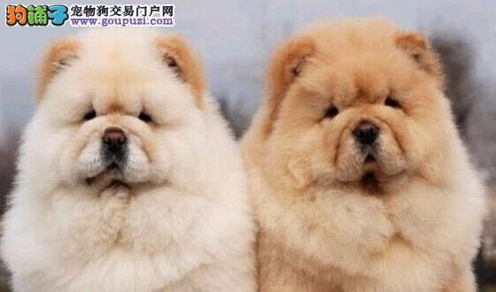 出售纯种可爱松狮幼犬 高品质 终生质保