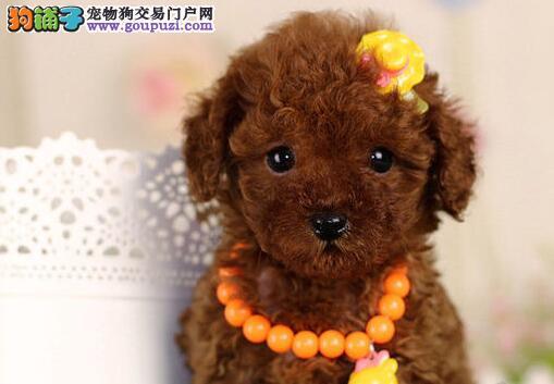 广州贵宾犬咖啡色贵宾红色贵宾迷你型贵宾