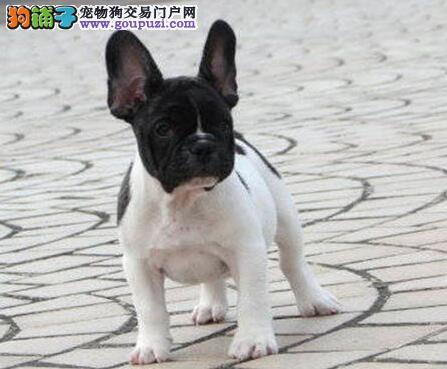 法国斗牛犬幼崽出售中、三针齐全保健康、三包终生协议