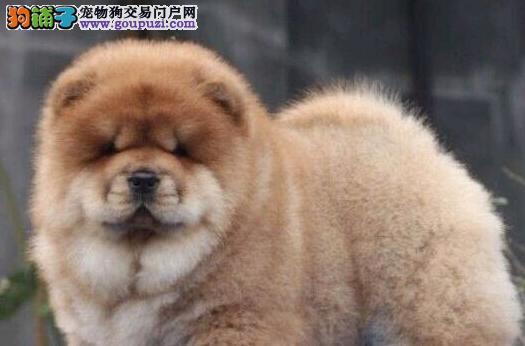 松狮 纯种极品幼犬天津优品犬业