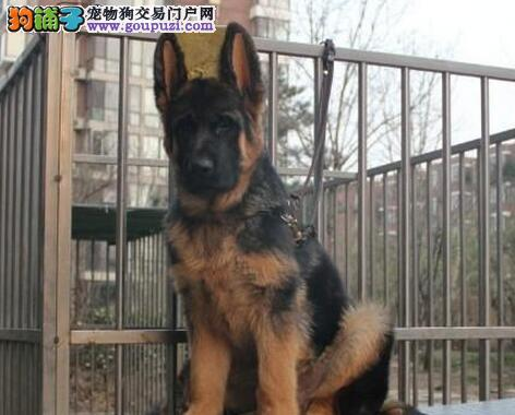 军犬后代===传说中的大狼狗===霸气十足