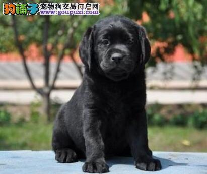 大骨量的潍坊拉布拉多犬低价热卖中 签合同保三年健康