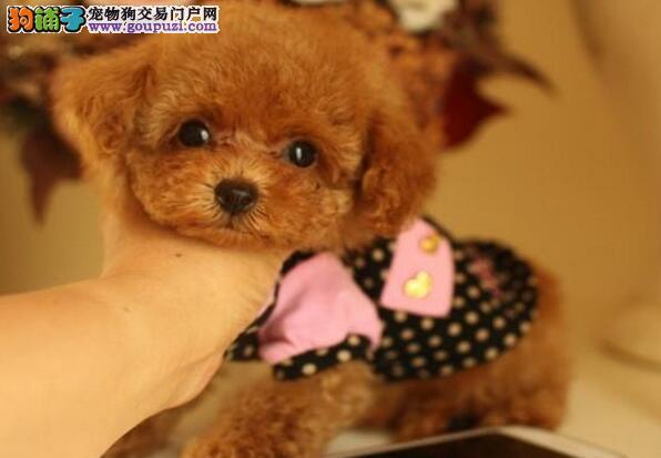贵宾犬幼犬出售中、品质第一价位最低、提供养狗指导