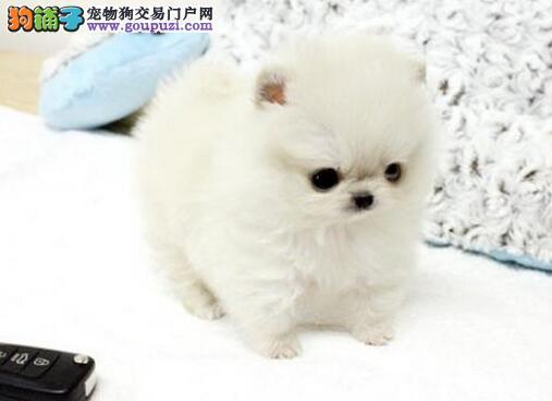 终身质保的潍坊博美犬找爸爸妈妈 保证品质和售后