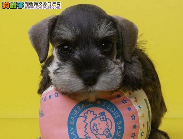 出售椒盐色的西宁雪纳瑞幼犬 保纯种带健康证书