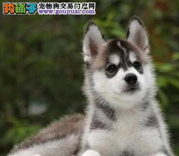 国际注册犬舍 出售极品赛级哈士奇幼犬终身完善售后服务