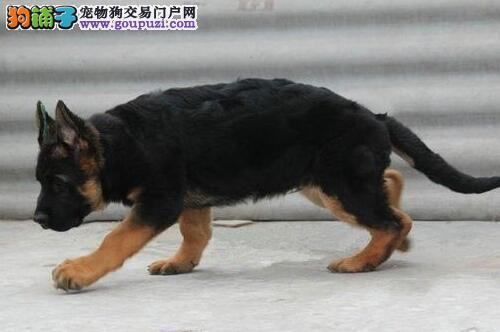 出售纯种健康的天津德国牧羊犬幼犬微信咨询看狗