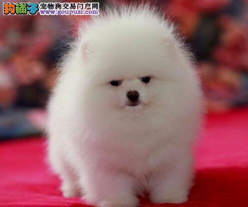 顶级品质的贵阳博美犬找爸爸妈妈 实物拍摄放心选购