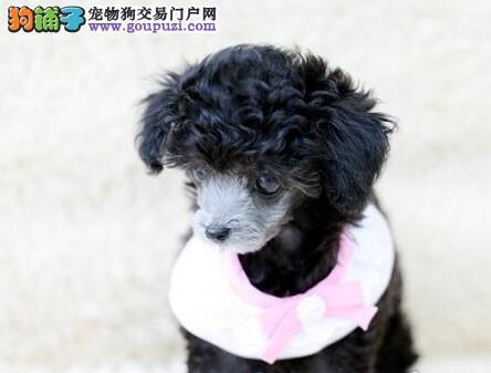 上海泰迪熊泰迪熊价格泰迪熊照片泰迪熊幼犬泰迪熊