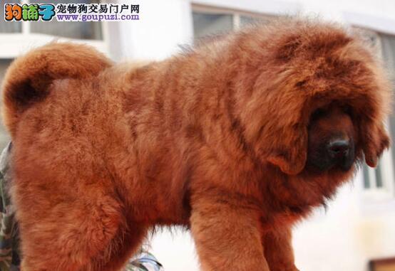 大狮子头的贵阳藏獒火爆直销中 可随时上门选购看狗