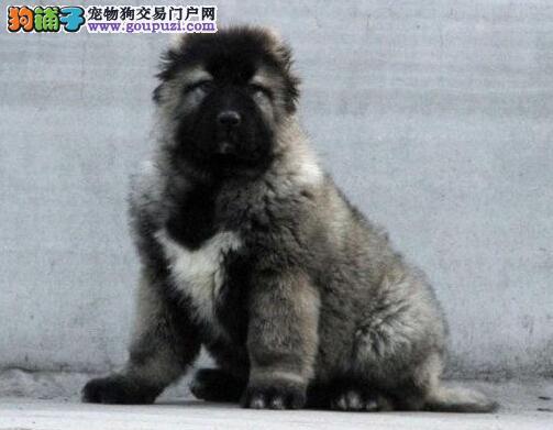 吐鲁番犬舍出售巨型高加索犬 高大威猛品相超级好