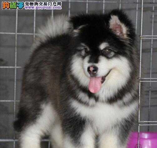 英俊十字脸的阿拉斯加犬优惠出售 贵阳市内可送货