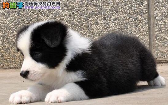 七白到位的武汉边境牧羊犬出售 通脖通缝品相极佳