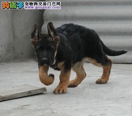 四川买狗/泸州卖狗/泸州犬舍常年出售纯种德国牧羊犬