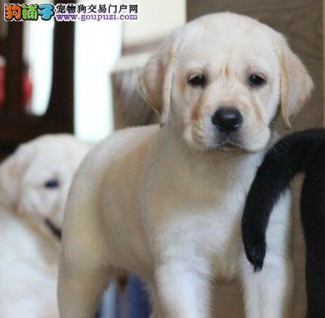 养殖基地热销好品质贵阳拉布拉多犬品相好签协议