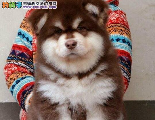 繁殖出售高品质赛级阿拉斯加幼犬喜欢的联系来家看狗