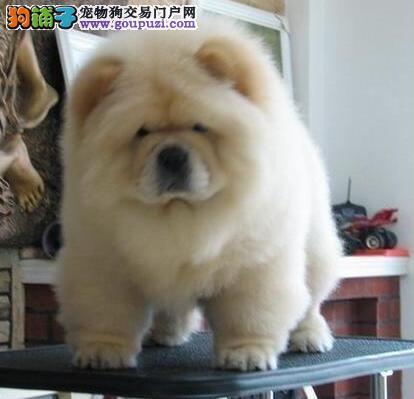 美系大肉嘴福州松狮犬幼犬优惠价出售血统纯正