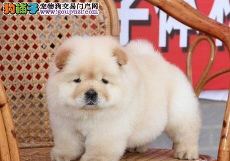 憨厚忠诚品质极佳的广州松狮犬找新家 疫苗驱虫齐全