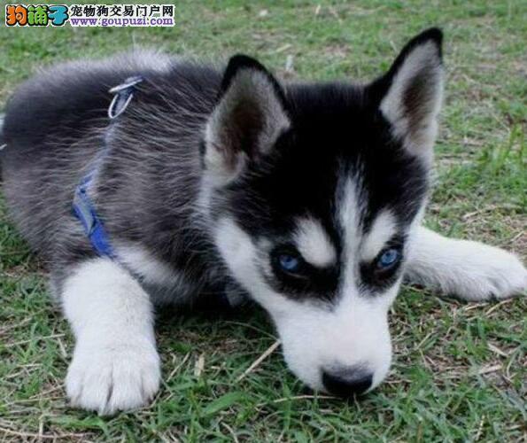 南宁大型狗场出售超高品质的哈士奇 多只幼犬供您选购