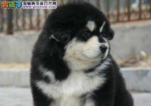 正宗极品阿拉斯加犬绝对血统纯正签订保障协议