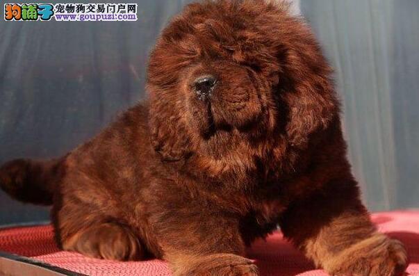 南宁知名犬舍出售凶猛忠诚的藏獒幼崽 完美的售后服务